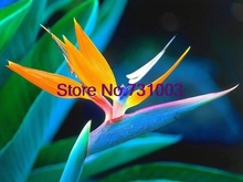 10+seeds/pack Strelitzia Reginae Bird Of Paradise Flower Seeds Garden Bonsai