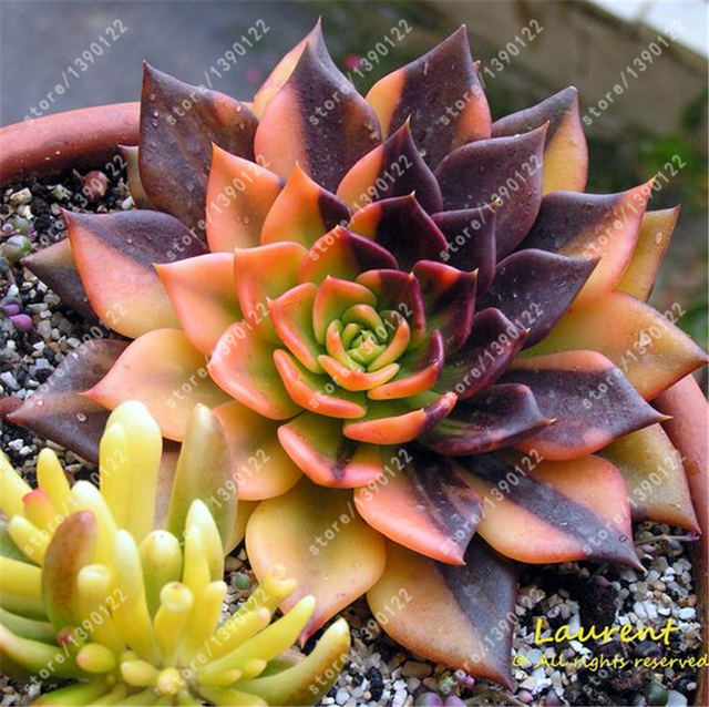 succulent seeds rare lithops  flower  plant potted plant for home garden