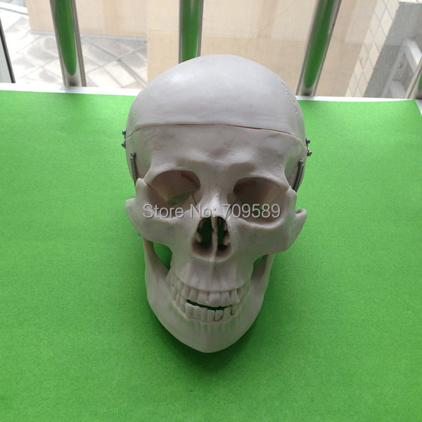 ISO Anatomical skull model, Life-size Skull iso advanced infant skull model anatomical skull model