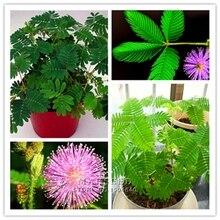 Marseed Hot Sale Creative DIY 100 Mimosa Flower Seeds Stunning Blooms Balcony