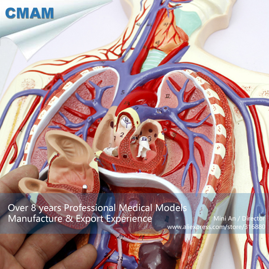 CMAM-HEART12 Human Blood Circulatory System Education Model with 2-parts Heart lego education 9689 простые механизмы