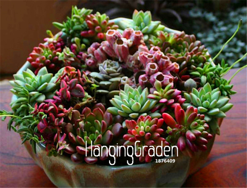100 Pcs Bag Sale Succulent Cactus Seeds Lotus Lithops