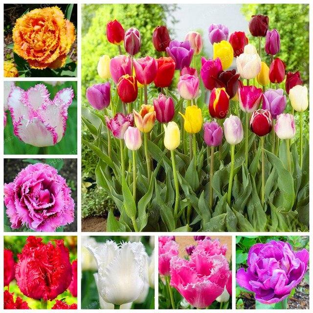 10 Pcs Tulip Bonsai Tulip Flower Beautiful Tulipanes Flower Plant For Garden plants(Not Tulip Bulbs ) Flower Symbolizes Love