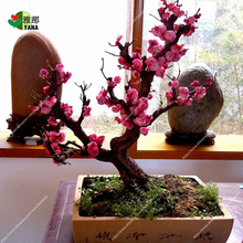 5 pcs/bag rare plum blossom seeds, Potted Seeds, bonsai flower seeds for miniature garden plant potted