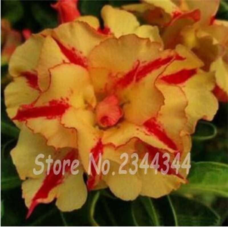 غريبة وردة الصحراء بونساي جميلة قزم بوعاء الزهور شرفة العدينة Obesum فلور فناء عالية إنبات مزيج اللون 20 قطع
