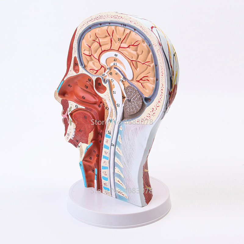 Head Neck Superficial Nerve Vascular Muscle Model,Human,skull with muscle and nerve blood vessel,School medical teaching supply