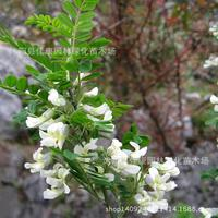 Herb plant of bitter bitter plantting tattoo of cavalry Hu burning white thorn flower plant 200g / Pack