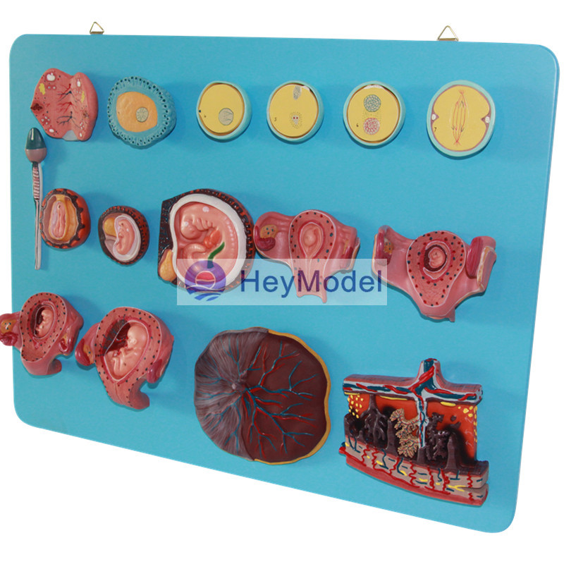 HeyModel Fertilization and Early Embryo Development Process Model iso fertilization of ovum model anatomical model of fertilization process simulator