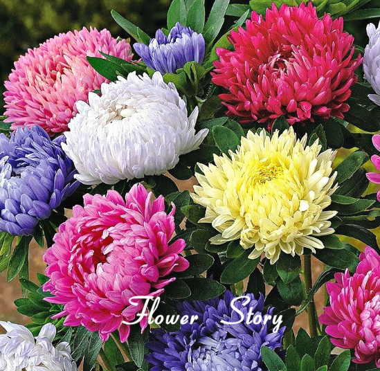 30pcs Seeds Chinese Aster Seeds (Callistephus)bonsai plant give you a garden full of bright summer big flowers orginal package