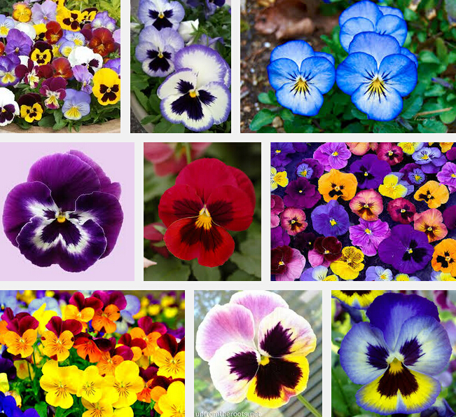 Garden plant pansy seed 200 flowers seeds pansy colorful - Plants with blue flowers a splash of colors in the garden ...