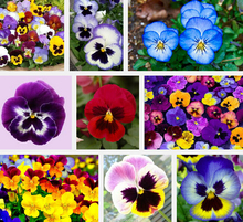 Garden Plant  Pansy Seed 200 Flowers Seeds Pansy Colorful Yellow Blue Red Colors Bright Bonsai Seed