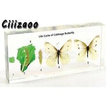 양배추 나비 견본의 생활주기 명확한 lucite 구획 embedding 견본에 묻힌 문진 박제 수집