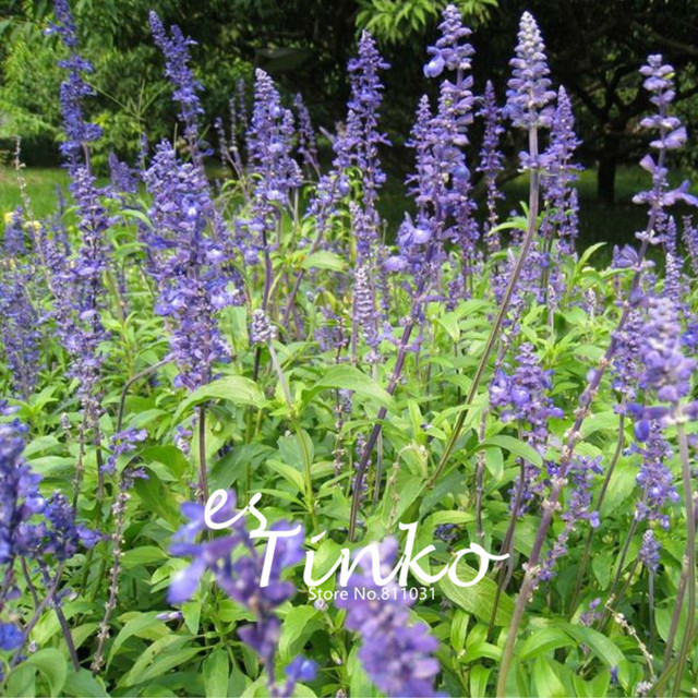 Buy 200 Pcs Mexican Salvia Seeds Free Shipping