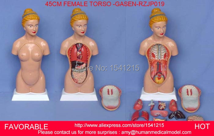 MEDICAL MODEL,HUMAN TORSO MODEL,MALE TORSO,ANATOMICAL MODEL,HUMAN ANATOMY MEDICAL TRAINING MODEL,45CM FEMALE TRUNK-GASEN-RZJP019 skin model dermatology doctor patient communication model beauty microscopic skin anatomical human model
