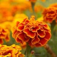 Grow Heirloom 50 French Marigold Flower 100% Genuine Seeds Home Garden Supplies A021