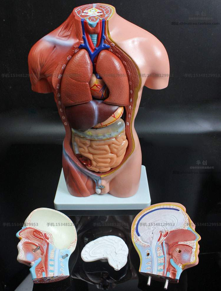 Medical teaching model 42CM 12part human torso anatomical model ...