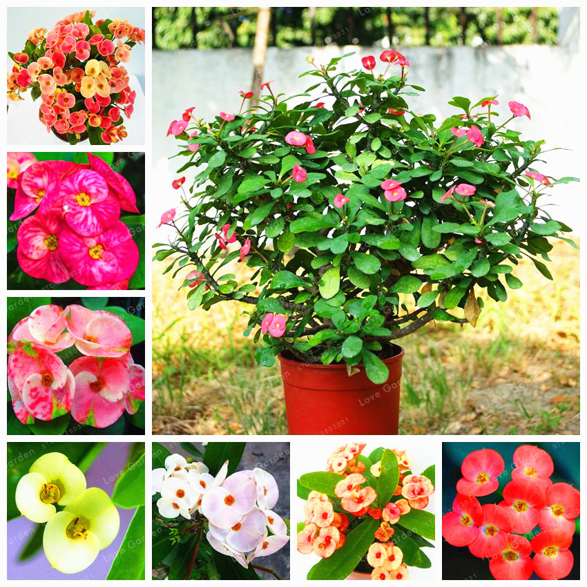 Euphorbia delizioso mix ibrido medio 100 mix di fiori bonsai corona nera di spine bonsai Graptopetalum Rusbyi giardino Piante fiorite rare