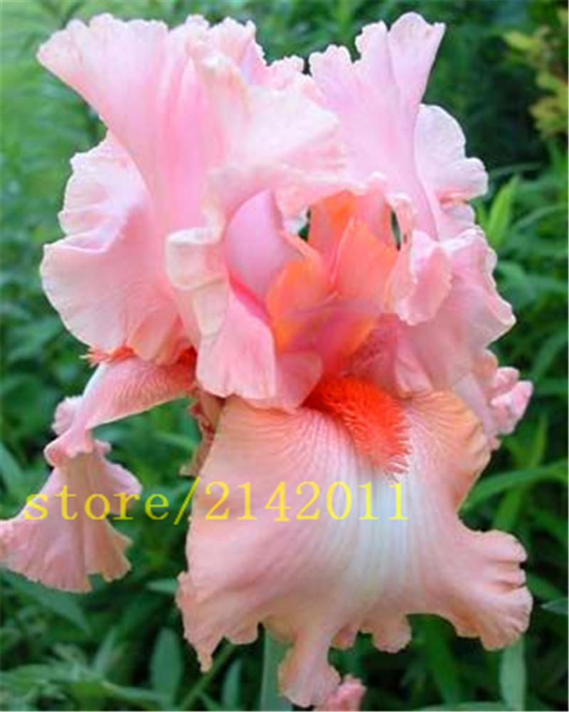 розовый ирис семена фото