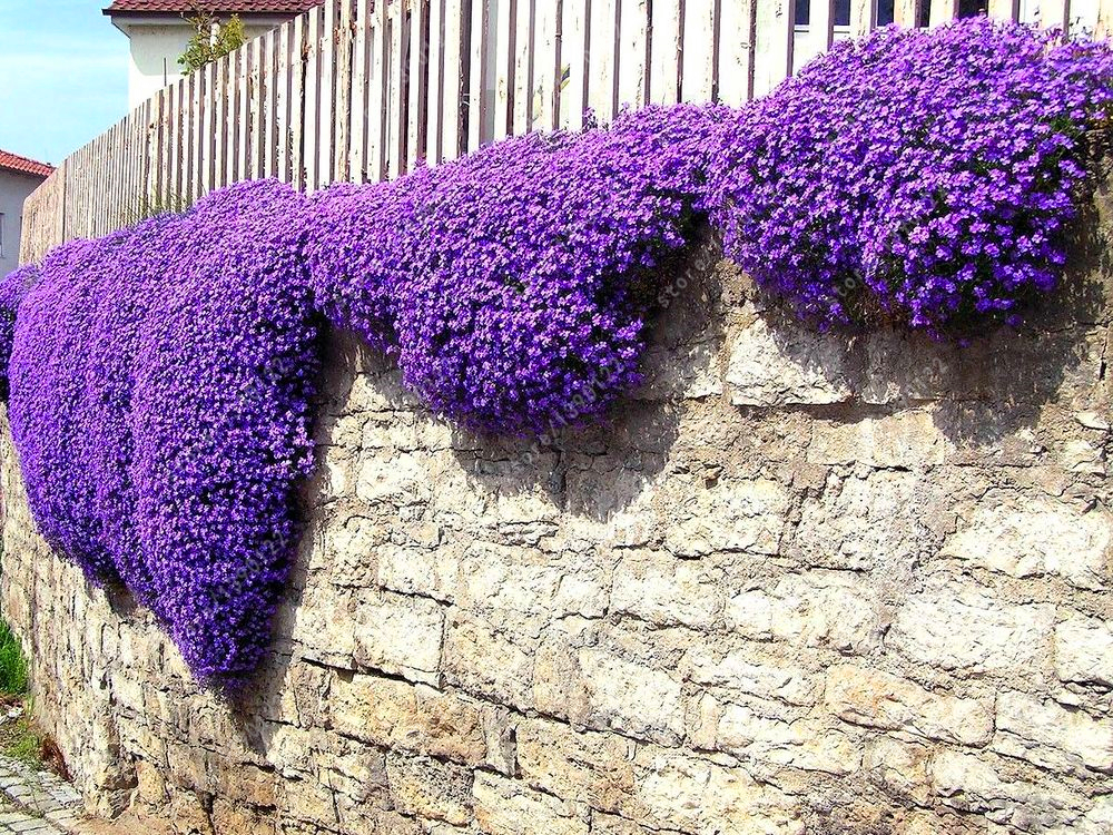 200pcs rock cress seeds Cascading Seeds (Aubrieta Hybrida Superbissima ) Cold-resistant Ground Cover Plant ornamental-plant