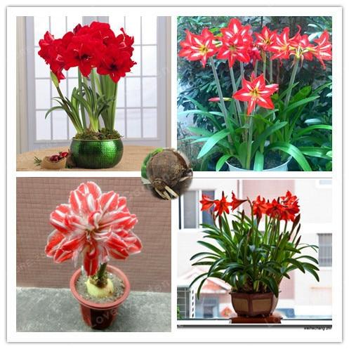 2 Bulbs Amaryllis Bulbs True Red Hippeastrum Bulbs Flowers Barbados Lily Potted Home Garden Balcony Plant Bulbous