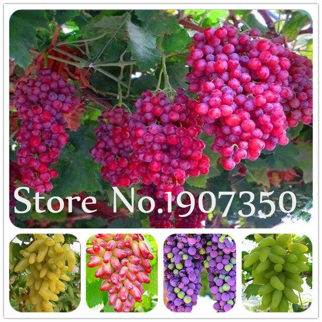 Vendita calda! 100 pz Più Particelle di Estate Nero Uva bonsai Avanzata Frutta f