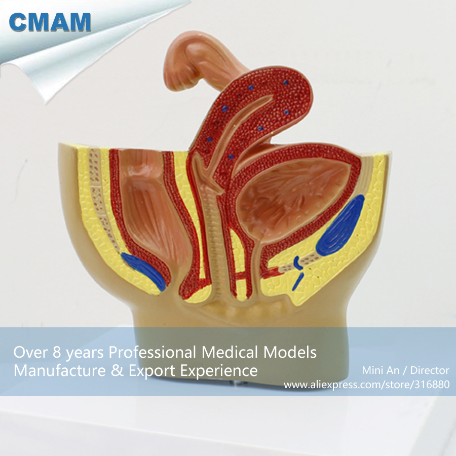 12458 CMAM-ANATOMY20 Plastic Anatomy Female Pelvis Section Model ,  Medical Science Educational Teaching Anatomical Models 12400 cmam brain03 human half head cranial and autonomic nerves anatomy medical science educational teaching anatomical models
