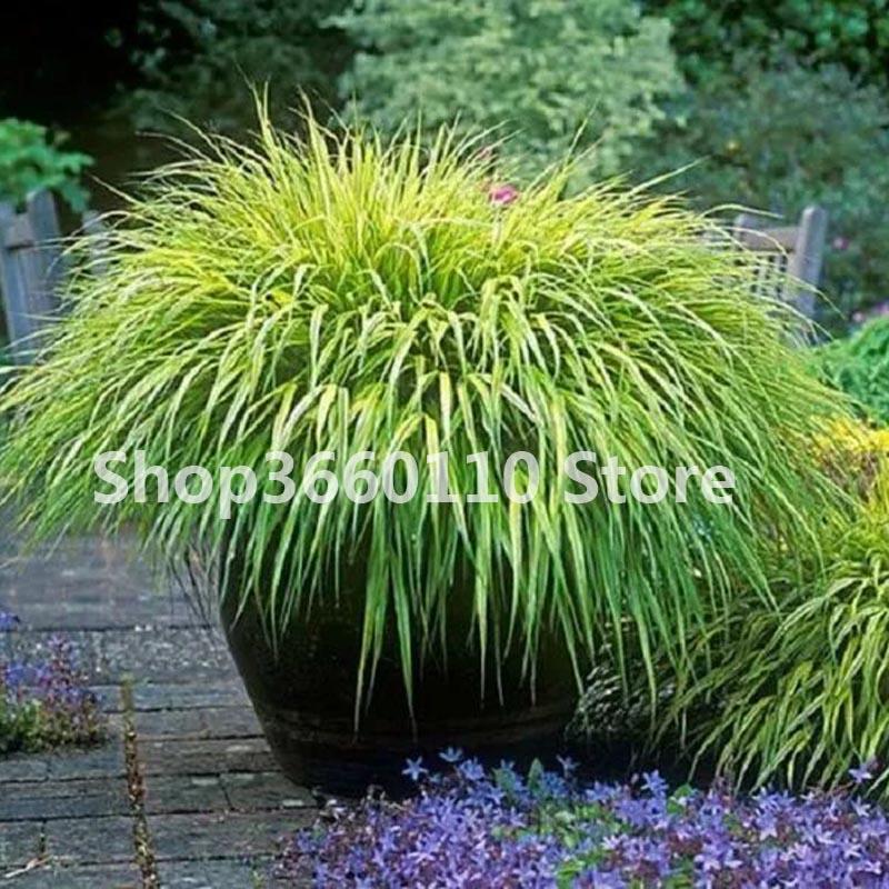 100PCS Christia Vespertilionis Patio Flores Bonsai Seeds Home Garden Pot Plant