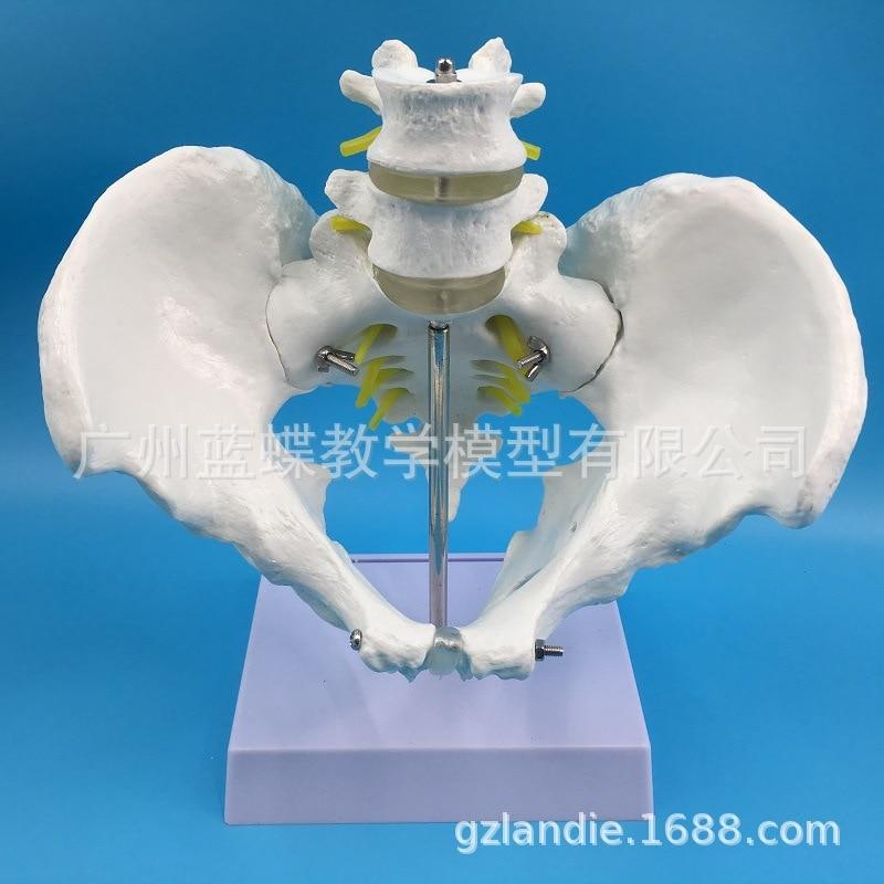 1:1 D'anatomie médicale Grandeur Squelette Pelvien Modèle avec 2 pièces Vertèbre Lombaire Pelvienne Masculine Modèle Médical Humains Squelette Modèles