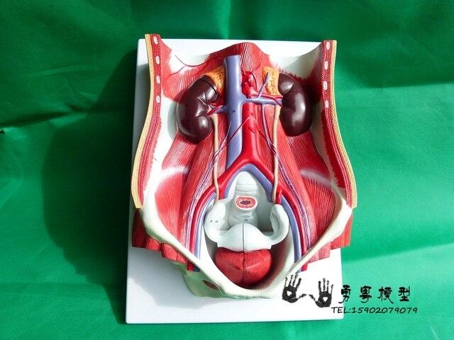 11 natrual size human body sex bladder urinary system exchange 11 natrual size human body sex bladder urinary system exchange presentation model abdominal anatomy ccuart Gallery