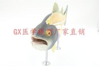Free shipping&Fish model, anatomy, biology teaching, bass, animal anatomy model, fish bones.Used in biology teaching.