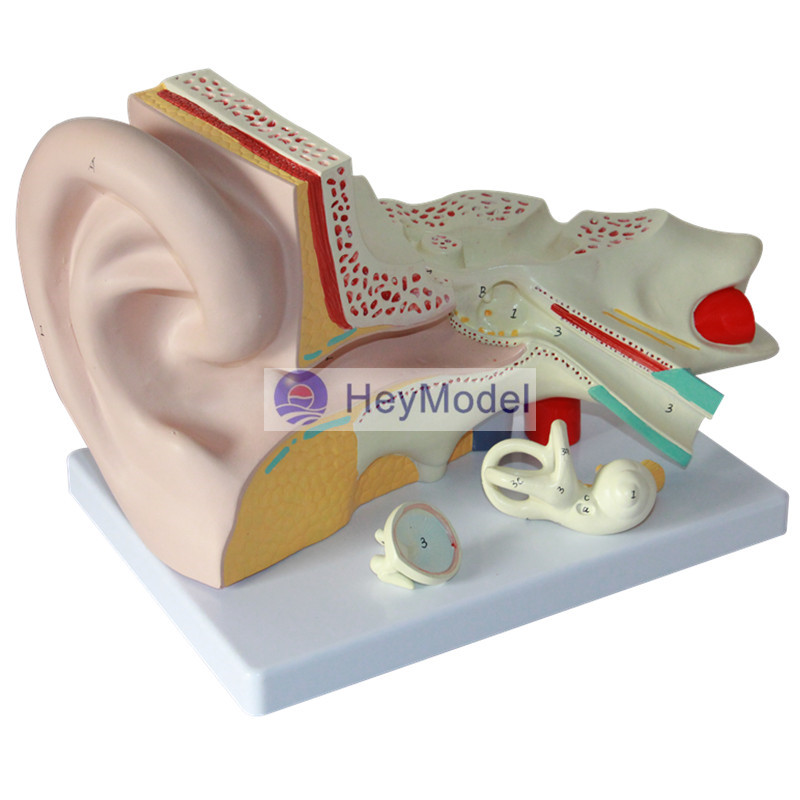 HeyModel Human ear anatomy model mini human uterus assembly model assembled human anatomy model gift for children