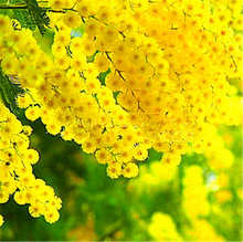 100pcs mimosa balcony bonsai tree flower pudica funny Sensible Foliage Plants Perennial for home garden predict earthquake