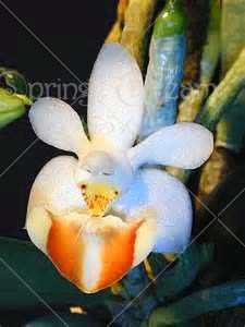 100 шт Редкие Орхидея Cymbidium растения африканские цимбидиумы Plantas, фаленопсис Бонсай цветы для дома и сада горшок