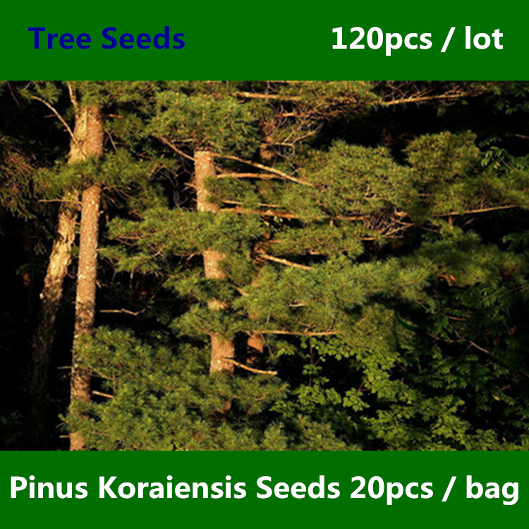 ^^Family Pinaceae Pi nus Koraiensis ^^^^ 120pcs, Ornamental Evergreen Tree Korean Pine ^^^^, Landscape Garden Hong Song Shu ^^^^