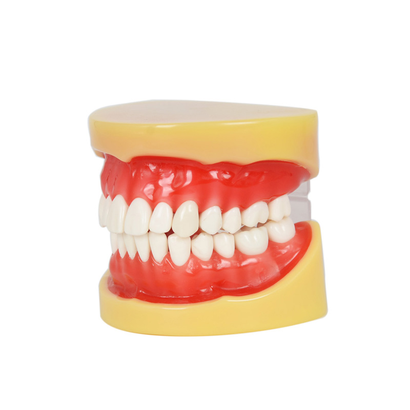2016 New Arrival Dental All teeth Removable Standard Teeth Tooth Model 28 pcs teeth student learning model 1 pcs dental standard teeth model teach study