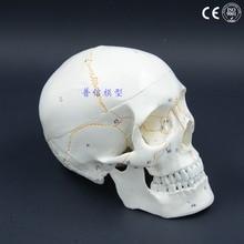 DongYun brand Adult human skull skeleton model show internal structure Medical Science  teaching supplies