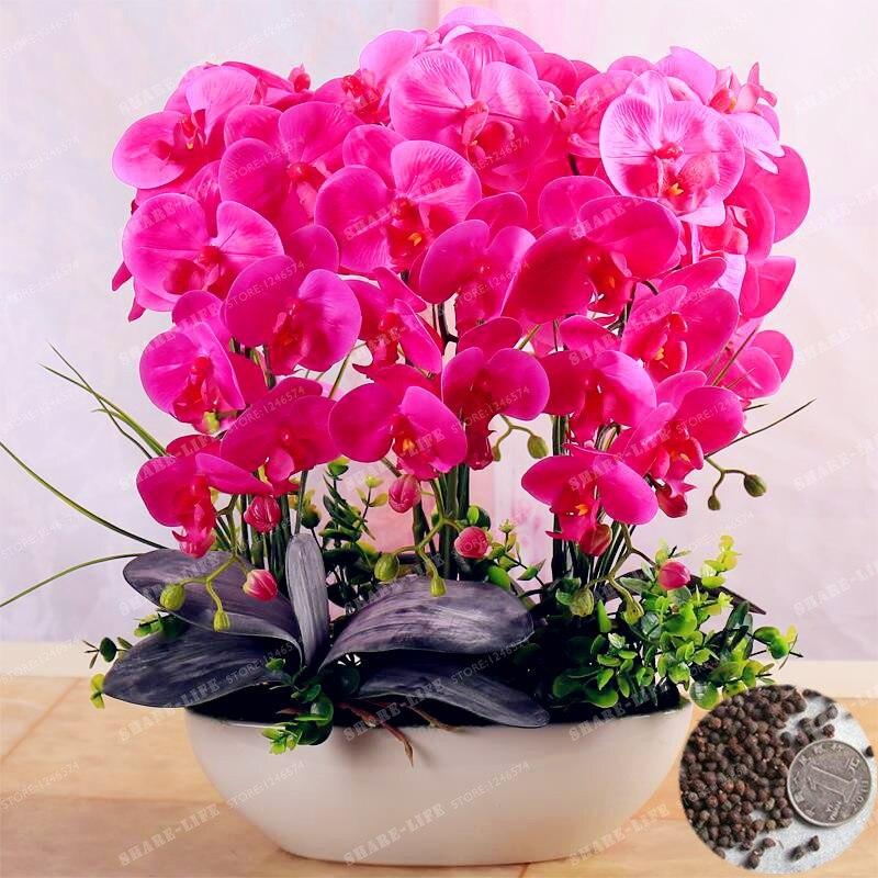 Rara orchidea bonsai balcone fiore di orchidea farfalla for Semi orchidea