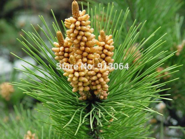 Pine Pólen de Pinheiro Pó de Agulha 500 peças