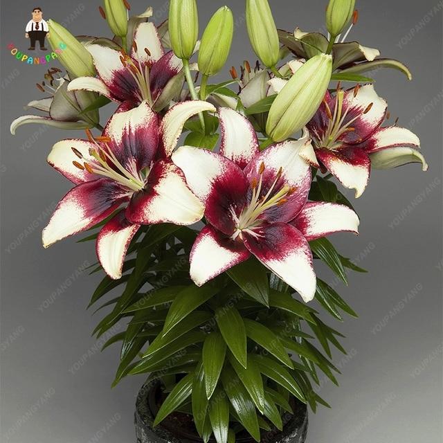 100 pz Profumo di Giglio piante Fiore di Germinazione del 95% Rampicanti Bonsai FAI DA TE Forniture Da Giardino Vasi Da Fiori Fioriere