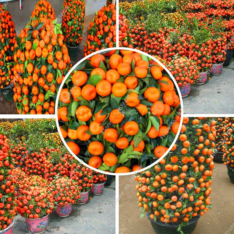 Unique Online Buy Wholesale Chinese Orange From China Chinese Orange  With Glamorous Orange Seeds Coldhardy Sweet Mandarin Orange Tree  Citrus Reticulata    Pcs With Extraordinary Green Park Garden Also Travelodge London Central Covent Garden In Addition Garden Art And Lee Garden Horley As Well As Hidcote Gardens Opening Times Additionally The Opera Tavern Covent Garden From Aliexpresscom With   Glamorous Online Buy Wholesale Chinese Orange From China Chinese Orange  With Extraordinary Orange Seeds Coldhardy Sweet Mandarin Orange Tree  Citrus Reticulata    Pcs And Unique Green Park Garden Also Travelodge London Central Covent Garden In Addition Garden Art From Aliexpresscom