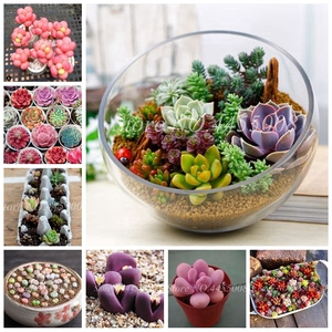 500 pcs/ bag Exotic Mini Succulent Cactus Rare Succulent Perennial Herb Plants Bonsai Pot Flower Indoor for Garden Flore Pot