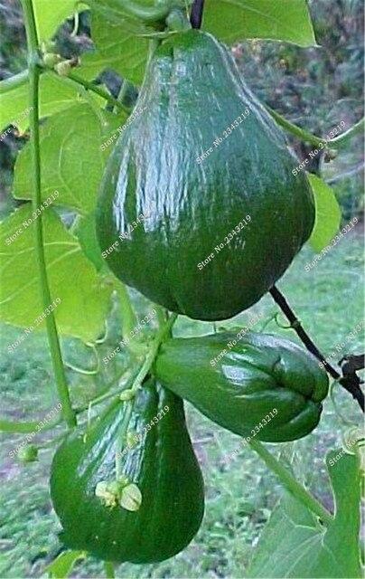 Bonsai Chayote Ornamental Pumpkin Good Taste Nutritious, Rare Exotic ...