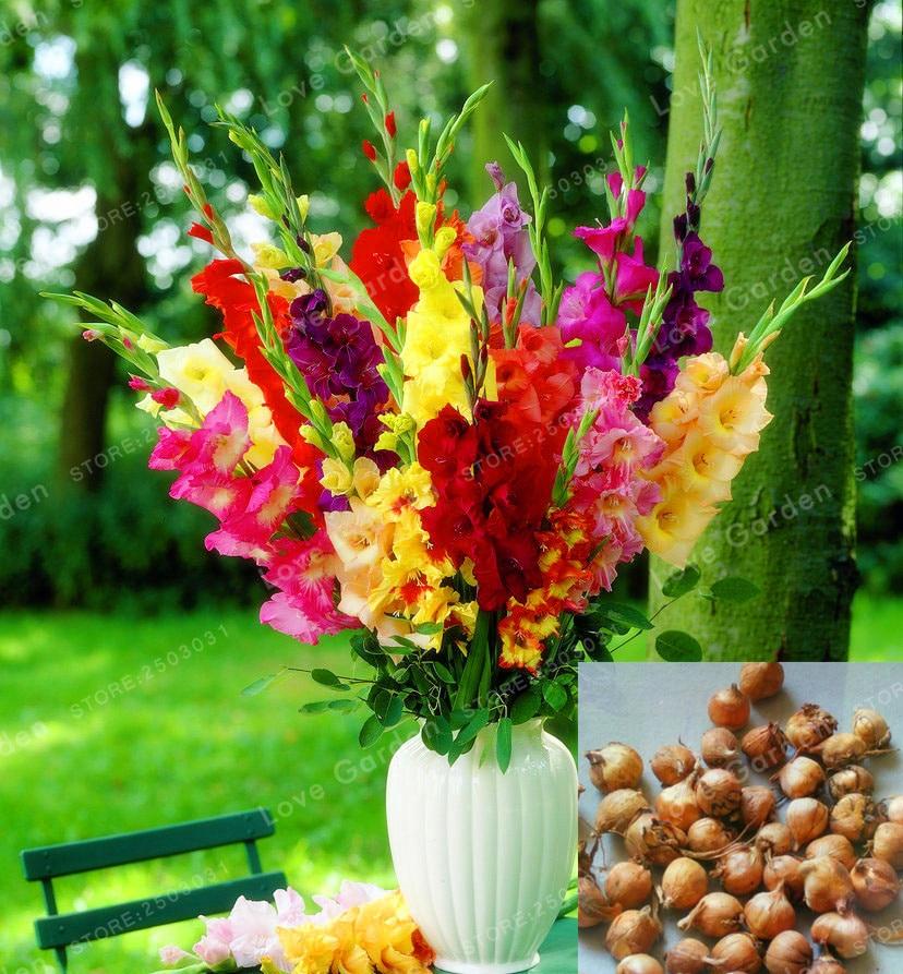 Multi-Цвет гладиолус луковицы бонсай 95% прорастание DIY аэробных горшках Редкие гладиолус лампы-2 лампочки