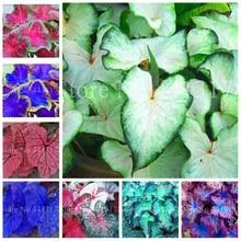 ea0cf5d0cb7a 100 piezas Venta caliente Tailandia Caladium Bicolor Bonsai balcón raro  quemado Rosa oreja de elefante flor