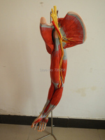 Muscles of Arm with Main Vessels and Nerves,Arm Muscle Model,Model of Human Upper Limb Muscles