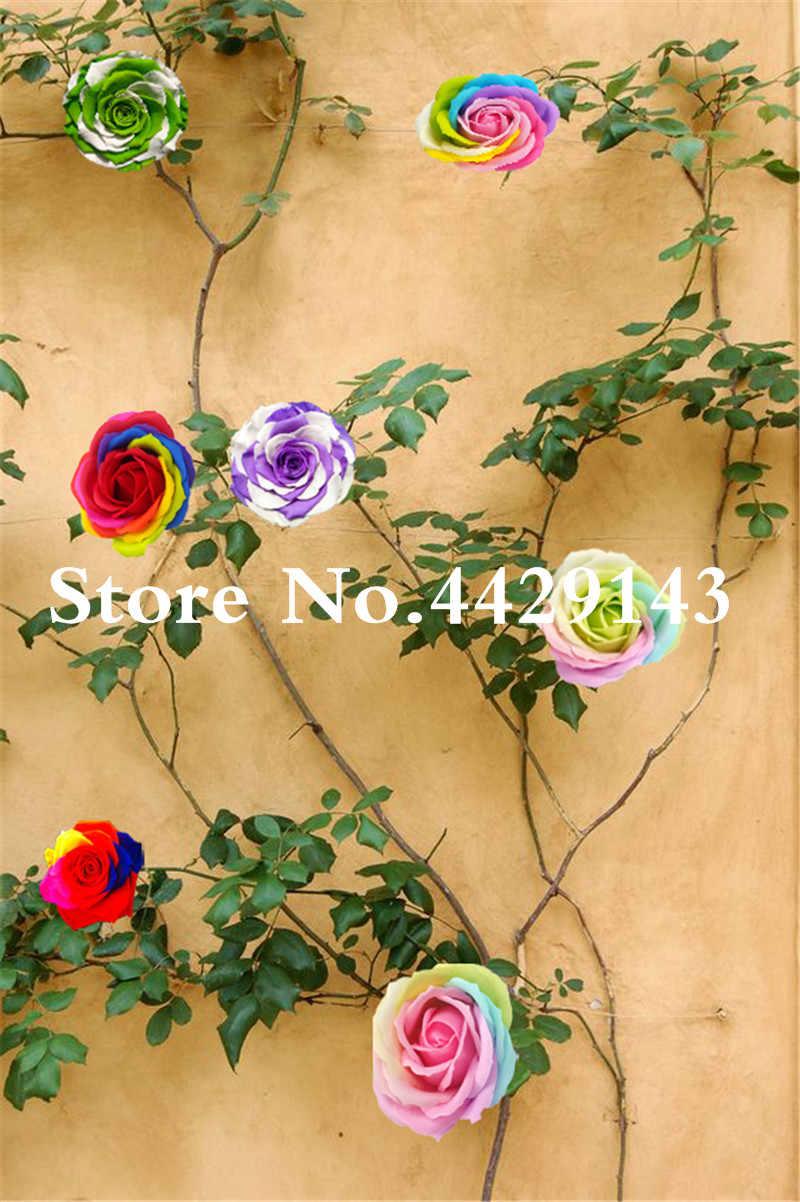 2000 ชิ้นปีนเขา Rose Bonsai ขาว Edge, 2 สี Bonsai พืชดอกไม้บ้าน & สวนกลางแจ้งสวนดอกไม้