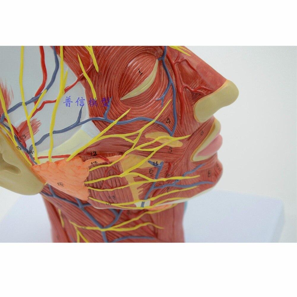 Humano, cráneo con músculo y vaso de sangre nervioso, Sección de cabeza cerebro, modelo de anatomía humana. La enseñanza médica-in Ciencia médica from Suministros de oficina y escuela    2