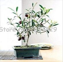 20pcs / bag Olive Bonsai tree (Olea Europaea) Seeds,  Mini Olive Tree, Olive Bonsai Fresh Exotic Tree Seeds, garden plant