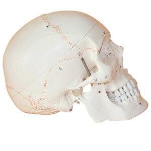 Image 2 - 1:1 a Grandezza naturale Del Cranio Modello di Modello di Cranio Umano Medicina Cranio Umano Anatomia Anatomico Testa Studiare Anatomia Insegnamento Forniture
