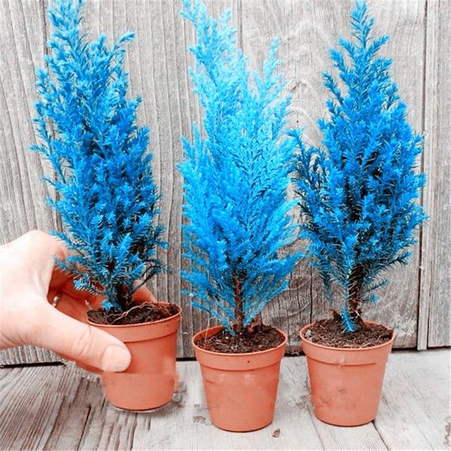 50 Pcs Italian Blue Cypress Tree Indoor Outdoor Desk Ornamental Plants, Rare Christmas Tree Perennial Flower Pots Planters